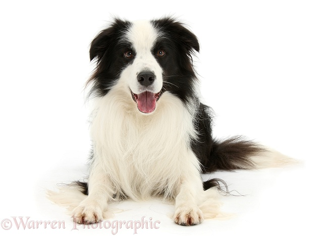 Black-and-white Border Collie stud dog, Ben, lying with head up, white background