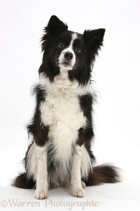 Black-and-white Border Collie bitch, sitting, white background