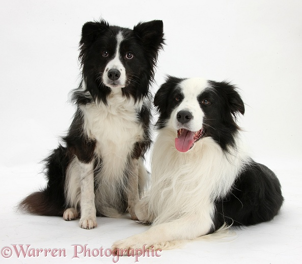 Black-and-white Border Collie dog, Ben, and bitch, white background