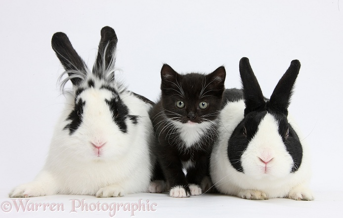 Black-and-white tuxedo kitten with black-and-white and Dutch rabbits, white background