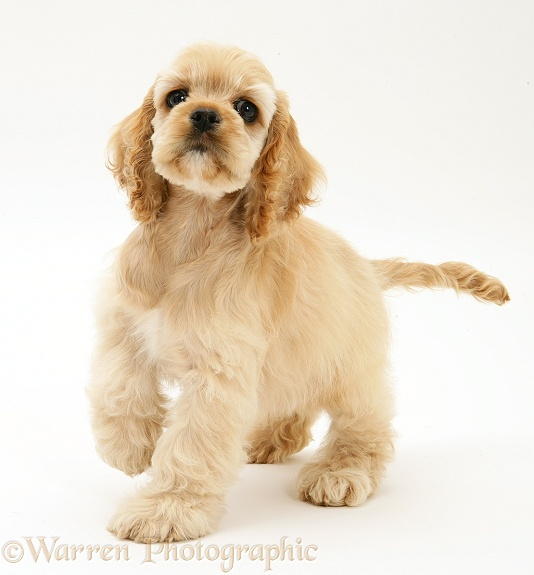 Buff American Cocker Spaniel pup, China, 10 weeks old, standing with raised paw, white background