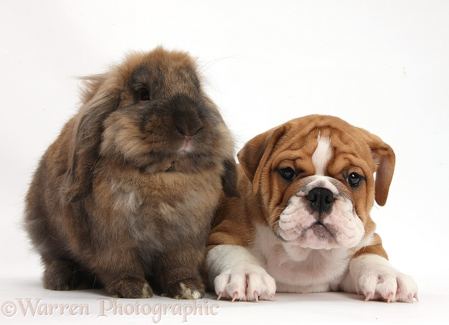 Bulldog puppy and Lionhead-Lop rabbit, Dibdab, white background
