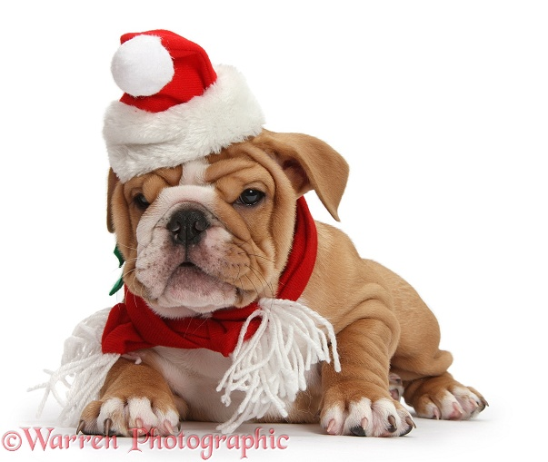 Bulldog puppy wearing Santa hat and scarf, white background
