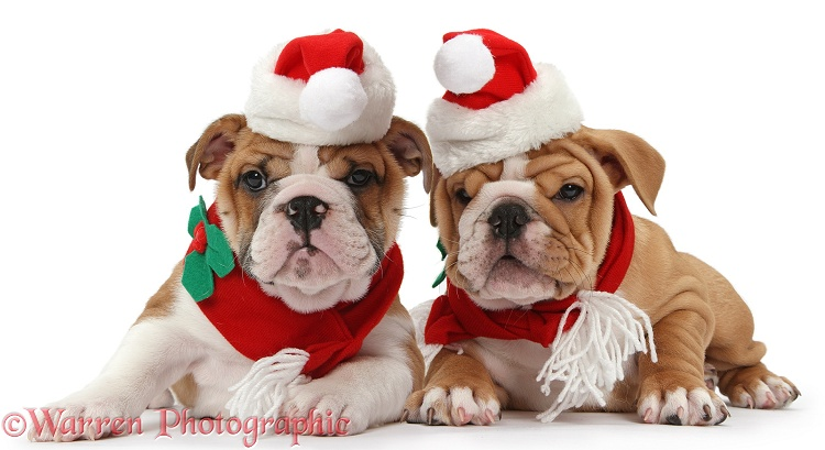 Bulldog puppies wearing Santa hat and scarf, white background