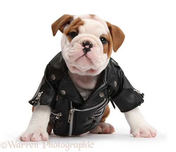 Cute bulldog pup, 5 weeks old, wearing a black leather biker's jacket, white background