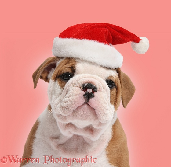 Cute bulldog pup, 5 weeks old, wearing a Father Christmas hat on red background