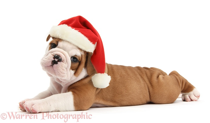 Cute bulldog pup, 5 weeks old, lying stretched out and wearing a Father Christmas hat, white background
