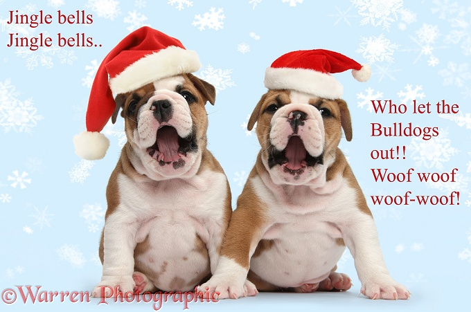 Two cute bulldog pups, 5 weeks old, wearing Father Christmas hats and singing, white background