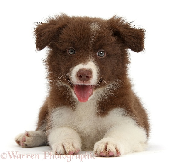 Happy Chocolate Border Collie pup lying with head up, white background