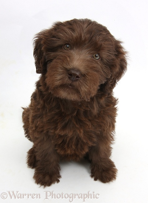 Chocolate Labradoodle puppy, 9 weeks old, sitting and looking up, white background