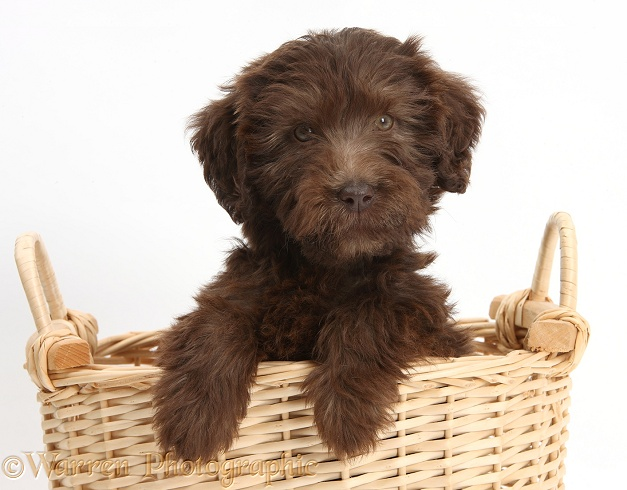 Chocolate Labradoodle puppy, 9 weeks old, in a wicker basket, white background