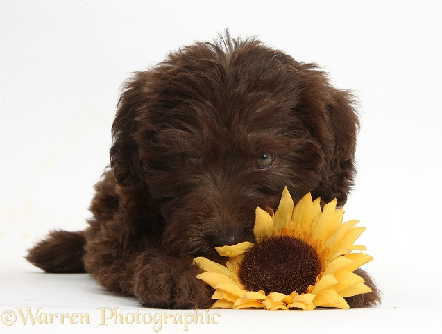 Chocolate Labradoodle puppy, 9 weeks old, with sunflower, white background