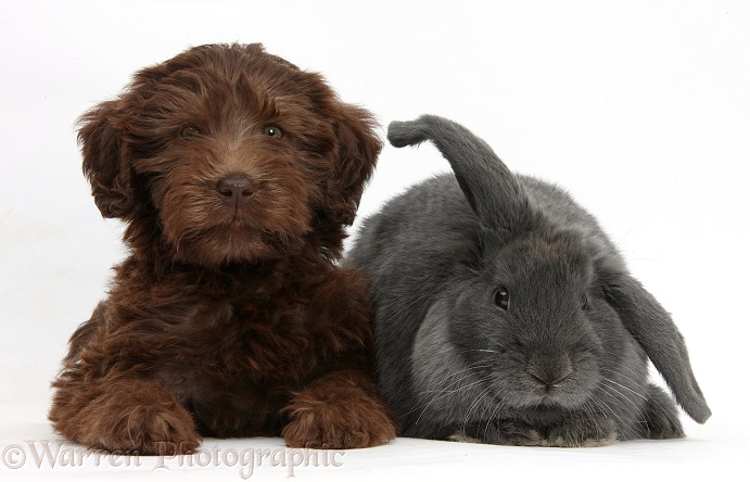 Chocolate Labradoodle puppy, 9 weeks old, with blue Lop rabbit, white background