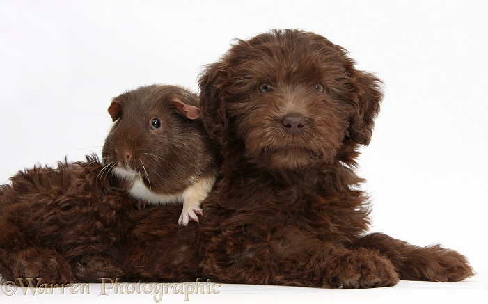 Chocolate Labradoodle puppy, 9 weeks old, with Guinea pig, white background