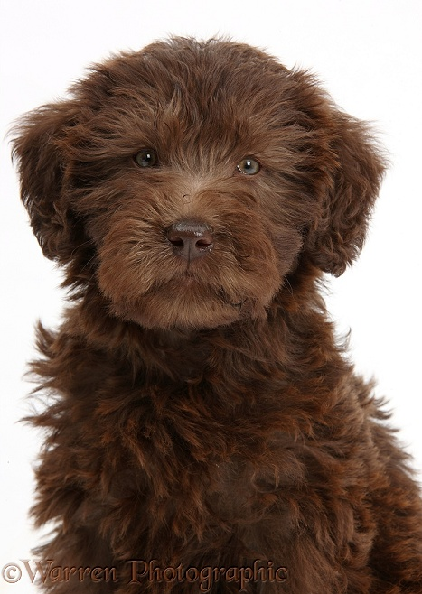 Chocolate Labradoodle puppy, 9 weeks old, sitting, white background