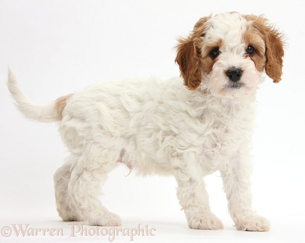 Cute red-and-white Cavapoo puppy, 6 weeks old, standing, white background