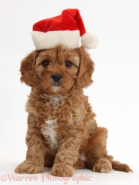 Cute red Cavapoo puppy, 6 weeks old, wearing a Father Christmas hat, white background