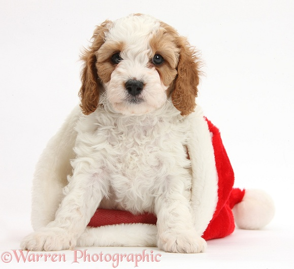 Cute red-and-white Cavapoo puppy, 6 weeks old, in a Father Christmas hat, white background