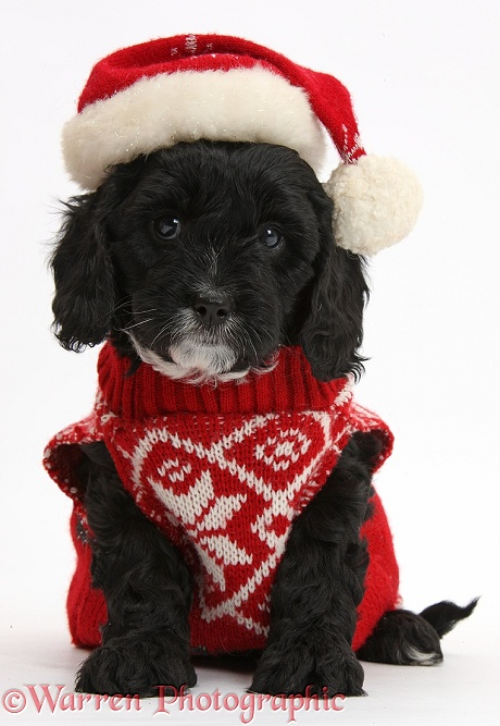 Cute black Cavapoo puppy, 6 weeks old, wearing Father Christmas hat and jersey, white background