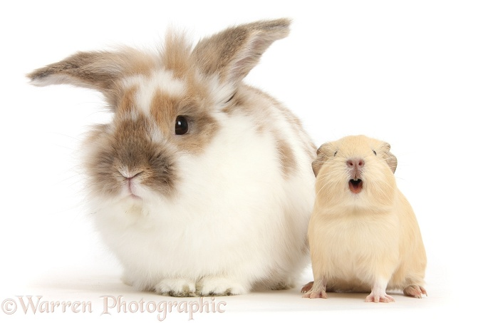 Brown-and-white rabbit and baby yellow Guinea pig squeaking, white background