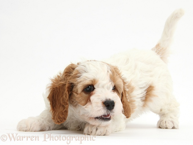 Cute red-and-white playful Cavapoo puppy, 6 weeks old, white background