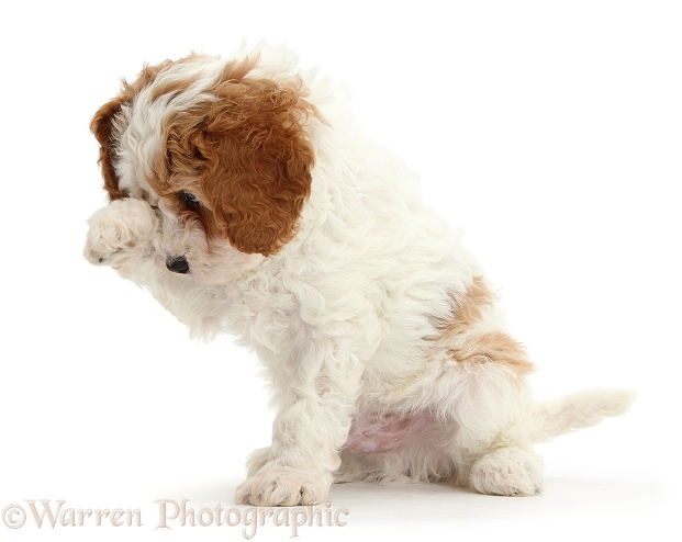 Cute red-and-white Cavapoo puppy, 6 weeks old, looking bashfully through a raised paw, white background