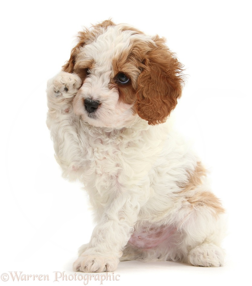 Cute red-and-white Cavapoo puppy, 6 weeks old, looking as if wiping a tear with a raised paw, white background
