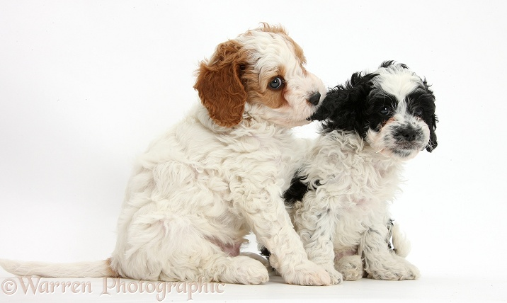 Cute Cavapoo puppies, 6 weeks old, one pulling the other's ear, white background