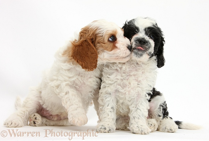 Cute black-and-white Cavapoo puppies, 6 weeks old, kissing, white background