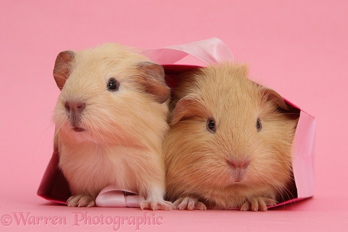 Baby yellow Guinea pigs in pink gift bag on pink background