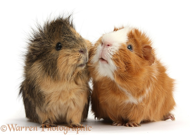 Two elderly Guinea pigs cheek-to-cheek, white background