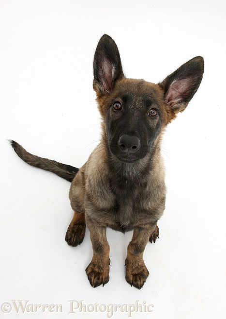 Malinois x Alsatian puppy, 14 weeks old, sitting and looking up, white background