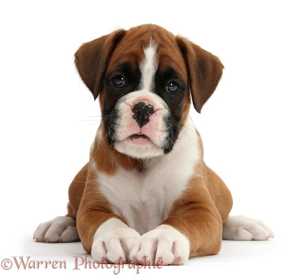 Boxer puppy, 7 weeks old, lying head up, white background