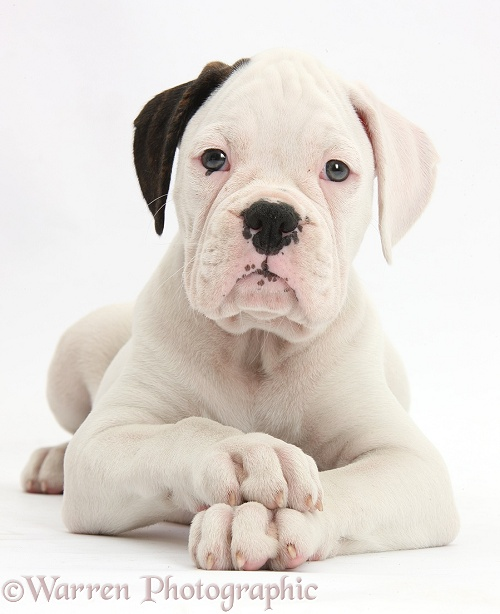 Black eared white Boxer puppy, lying with head up and crossed paws, white background
