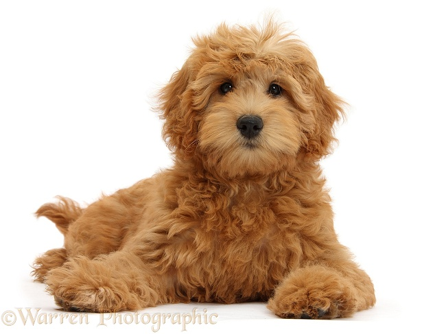 Cute red toy Goldendoodle puppy, Flicker, 12 weeks old, lying with head up, white background