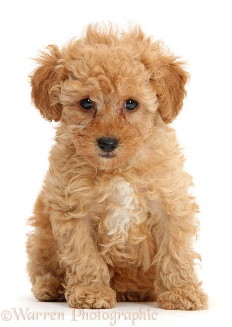 Cute red Toy Poodle puppy sitting, white background