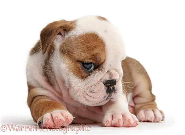 Cute bashful-looking bulldog pup, 5 weeks old, lying with head up, white background