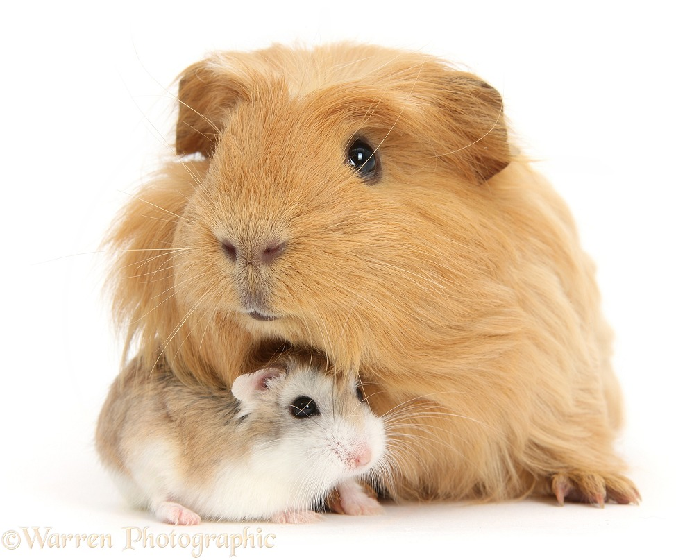 Puppy & red Guinea Pig