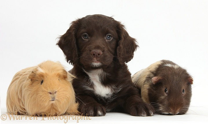 Chocolate Cocker Spaniel puppy and Guinea pigs, white background