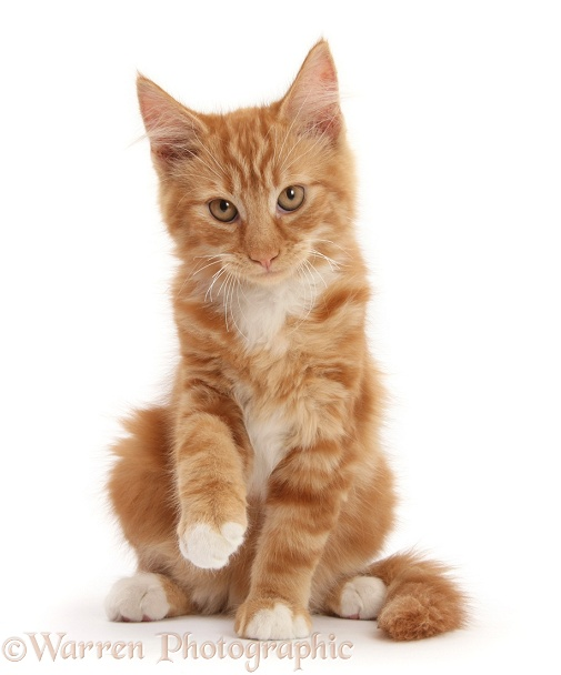 Ginger kitten, Butch, 3 months old, sitting and raising a paw, white background