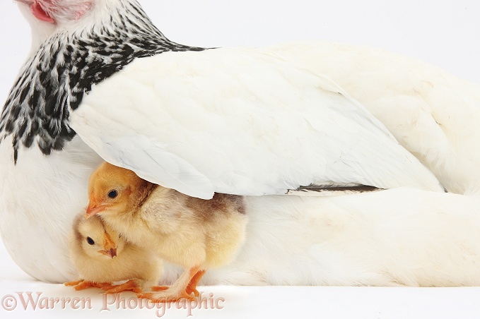 Two yellow chicks under wing of mother hen, white background