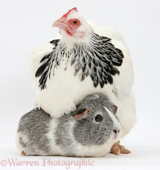 Light Sussex bantam hen and Guinea pig, white background