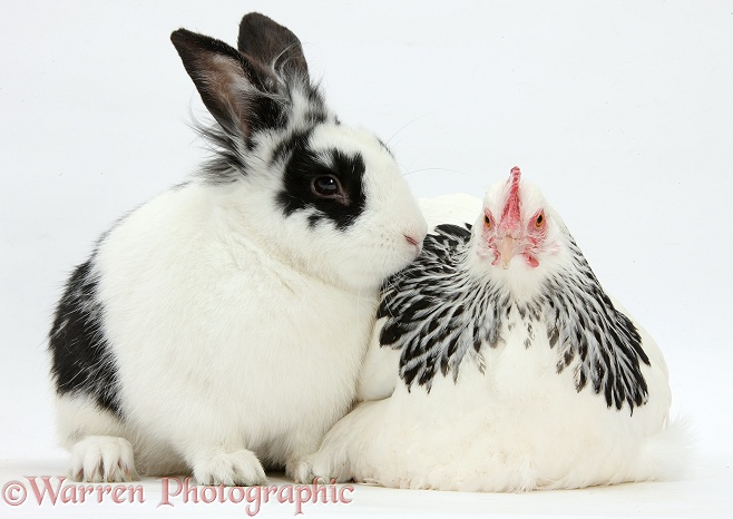 Light Sussex bantam hen and black-and-white rabbit, Bandit, white background