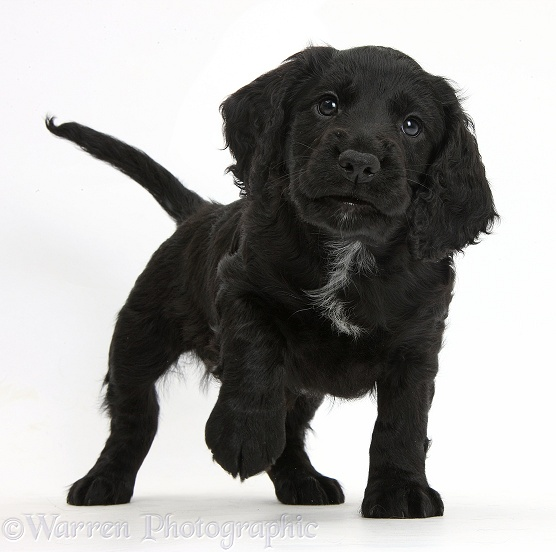 Black Cocker Spaniel puppy standing with paw up, white background