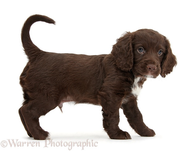 Chocolate Cocker Spaniel puppy standing, white background