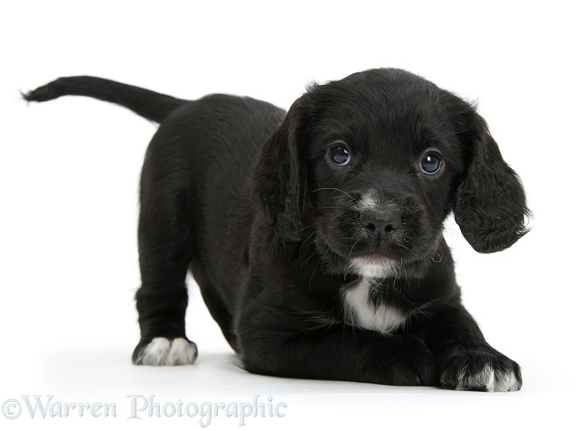 Black Cocker Spaniel puppy in play-bow, white background