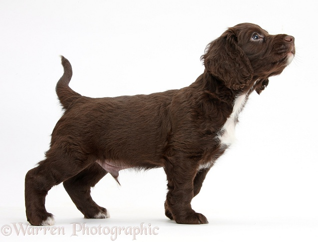 Chocolate Cocker Spaniel puppy sniffing the air, white background