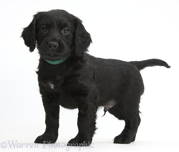 Black Cocker Spaniel puppy standing, white background