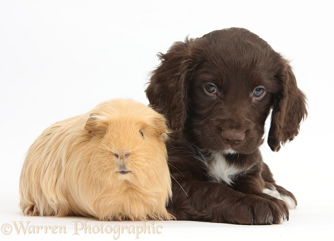 Chocolate Cocker Spaniel puppy and Guinea pig, white background