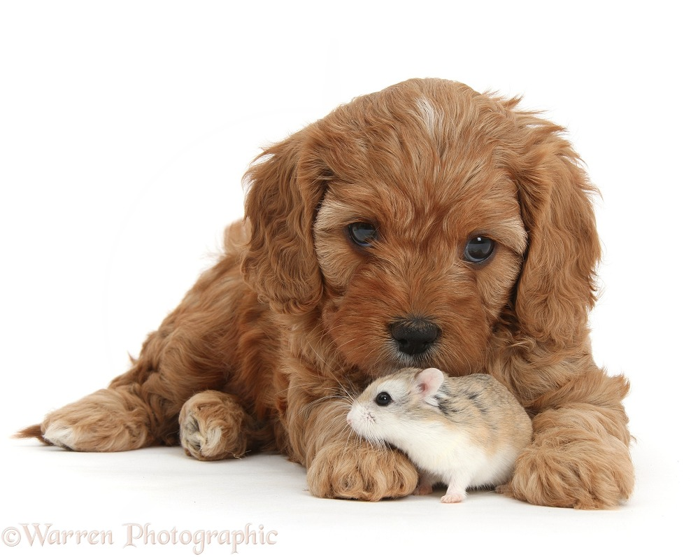 Cute red Cavapoo puppy, 5 weeks old, and Roborovski Hamster, white background